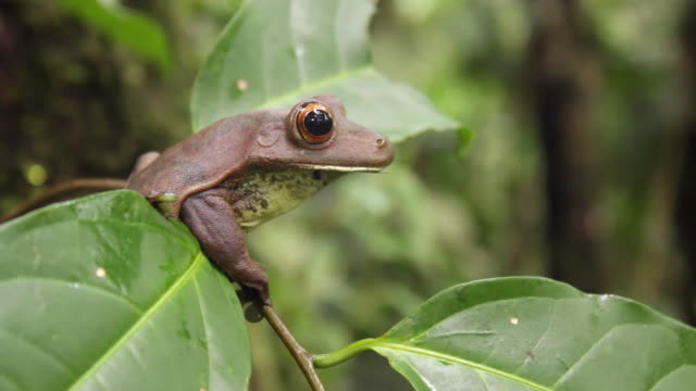 Giant tree frog (Hypsiboas boans) sitting on a branch in the rainforest, Ecuador