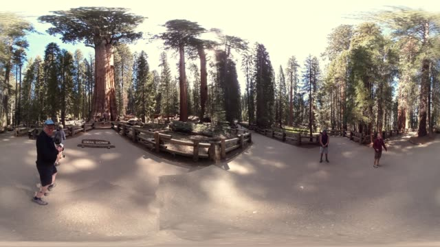 giant trees in sequoia national park california usa - lumberjack stock videos & royalty-free footage