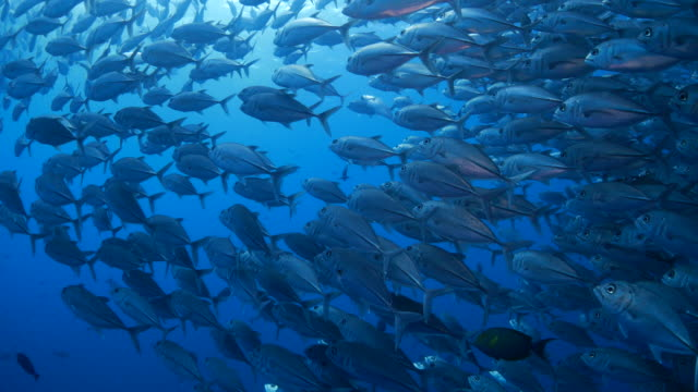 giant trevally fish, schooling, undersea (4k) - jack fish stock videos and b-roll footage