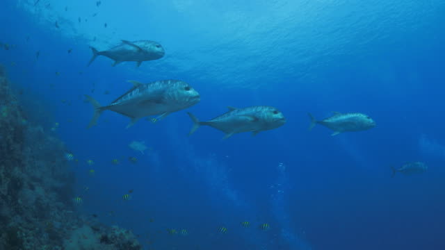 Giant Trevally swimming against in strong current