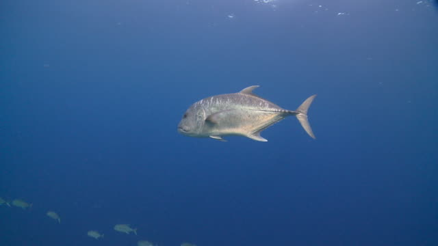 Giant Trevally (Caranx ignobilis) swimming near school of Bigeye Trevallies high above reef, profile, side view, Vaavu Atoll, The Maldives