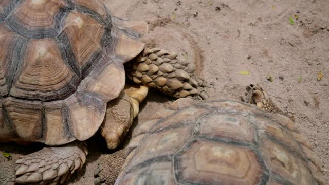 riesenschildkröten essen blätter - landschildkröte stock-videos und b-roll-filmmaterial