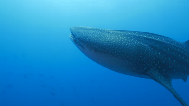 giant whale shark is closing to camara (4k->fhd) - sabah state stock videos and b-roll footage