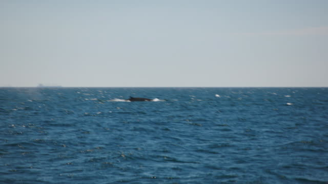 giant whales swimming in the strait of gibraltar - whale watching stock videos and b-roll footage