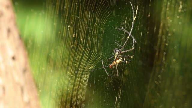 vídeos de stock, filmes e b-roll de tecelagem de aranha de madeira gigante ou fazendo uma teia na índia central - teia de aranha