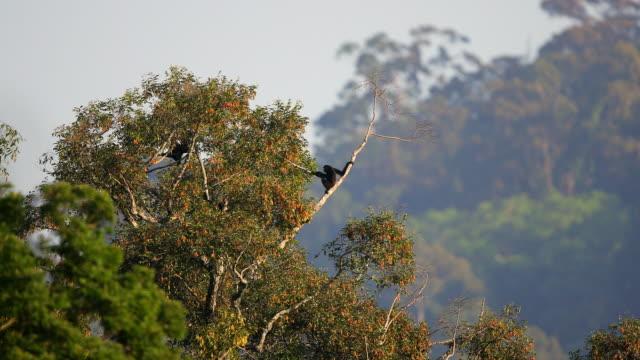 gibbon : erwachsener agile gibbon (hylobates agilis) - neuweltaffen und hundsaffen stock-videos und b-roll-filmmaterial