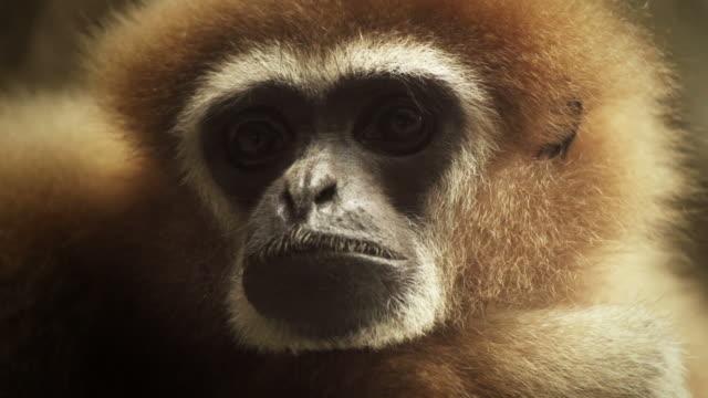 Gibbon Ape Portrait