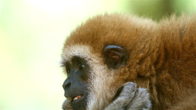 gibbon close- up face - mouth open stock videos & royalty-free footage