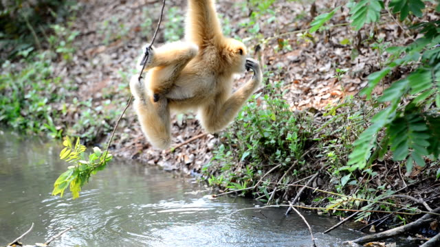 Gibbon drinking water