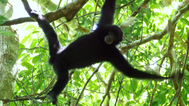 gibbon (hylobatidae) hanging from a branch in sumatra island, indonesia - limb body part stock videos & royalty-free footage