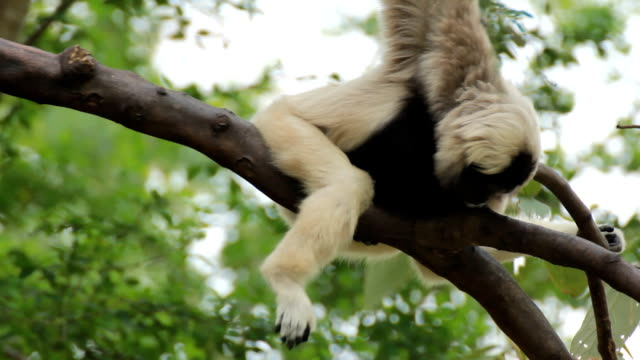 gibbon in a tree. - java stock videos & royalty-free footage