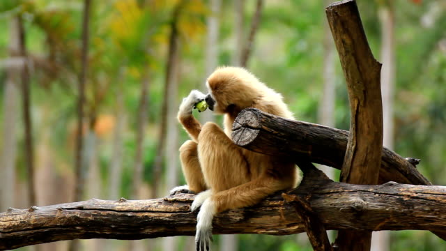 gibbon in a tree. - female animal stock videos & royalty-free footage