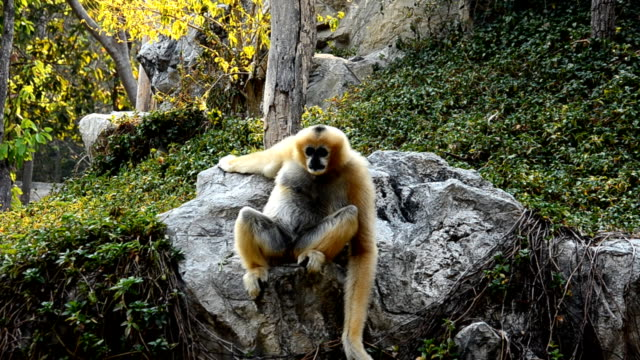 Gibbon looking this way