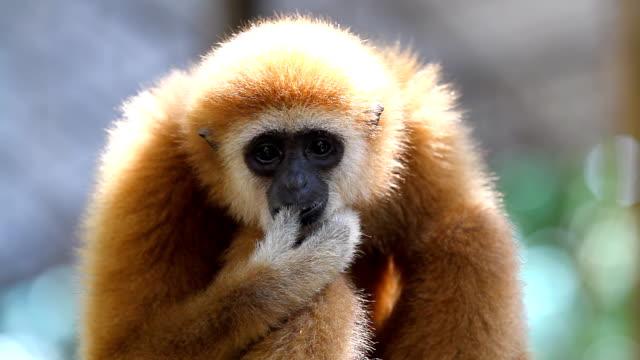 ギボン猿 - サラワク州点の映像素材/bロール