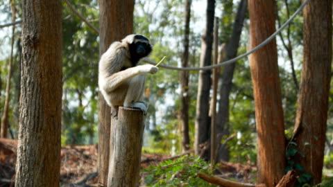 gibbon auf baumstumpf - baumstumpf stock-videos und b-roll-filmmaterial
