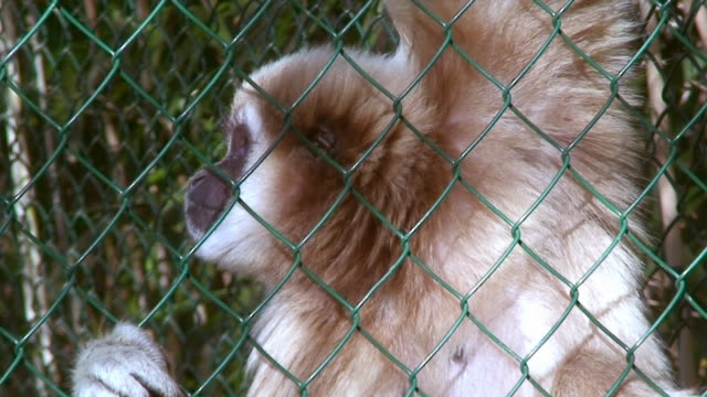 Gibbon on the fence