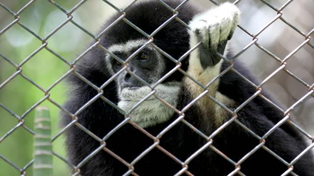Gibbon auf dem Zaun