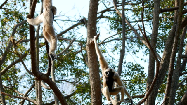 gibbon on tree - swinging stock videos & royalty-free footage