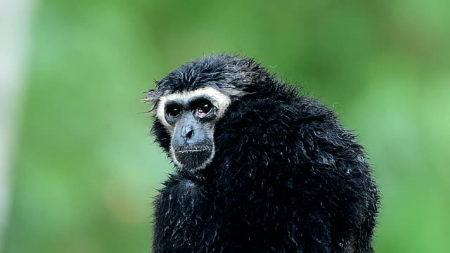 vidéos et rushes de gibbon - lenteur