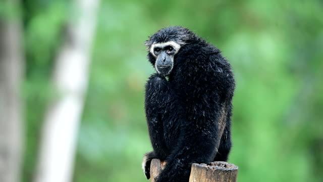 gibbon - ape stock videos & royalty-free footage