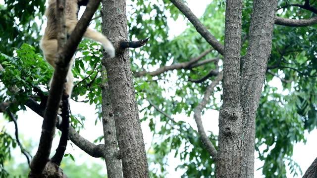 gibbon - utrotningshotade arter bildbanksvideor och videomaterial från bakom kulisserna
