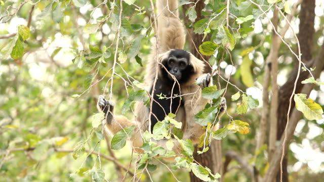 gibbon - gesturing stock videos & royalty-free footage