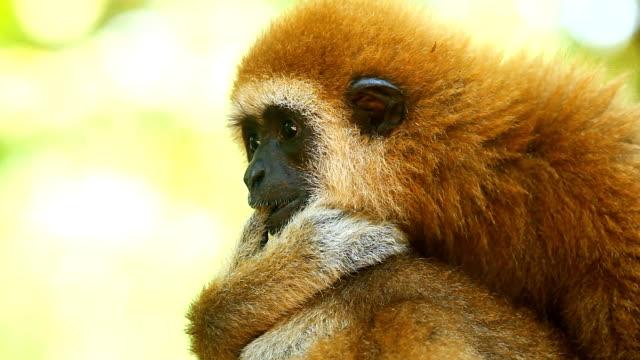 gibbon - safari animals stock videos & royalty-free footage