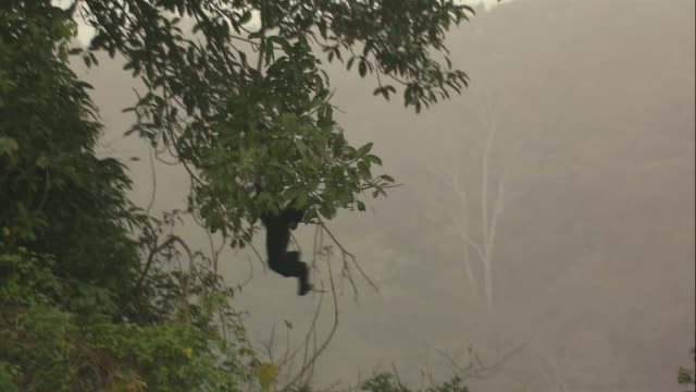 ts gibbons monkey swinging from tree at the endangered primates rescue center, cuc phuong national park / vietnam - swinging stock videos and b-roll footage