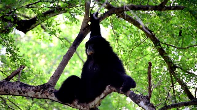 Gibbons sull'albero