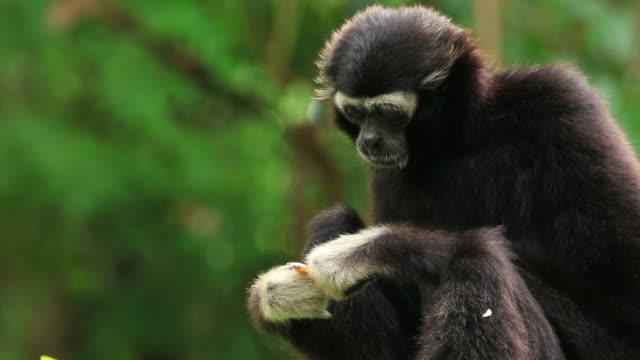 ギボンズ - 猿点の映像素材/bロール