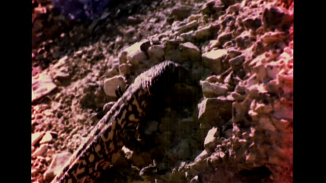 gila monster crawling on rocky land, climbing hill, hunting, stalking, vs dove chick falling out of nest, standing, desert horned lizard on rocks,... - bird hunting stock videos & royalty-free footage