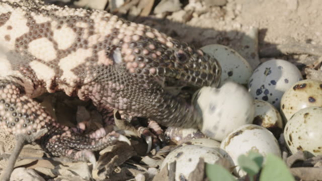 gila monster eating eggs - wilderness stock videos & royalty-free footage