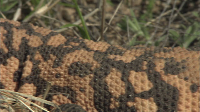 a gila monster lies close to eggs sheltered in a nest of twigs. - animal nest stock videos & royalty-free footage