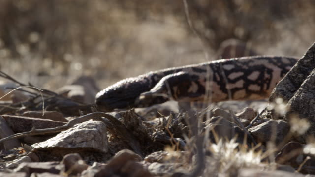 gila monster walks across rocky, desert floor. - disguise stock videos & royalty-free footage