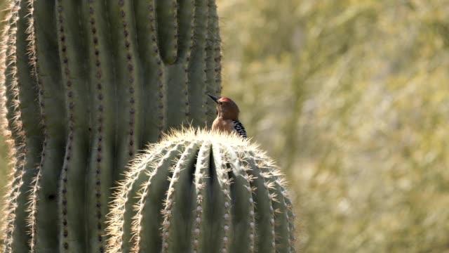 gila woodpecker - saguaro cactus stock videos & royalty-free footage