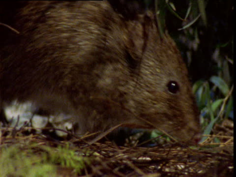 gilbert's potoroo forages on ground, albany, western australia - futter suchen stock-videos und b-roll-filmmaterial