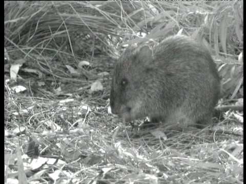 gilbert's potoroo gnaws at seed, albany, western australia - apparato digerente animale video stock e b–roll