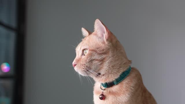 生姜猫。 - ショートヘア種の猫点の映像素材/bロール