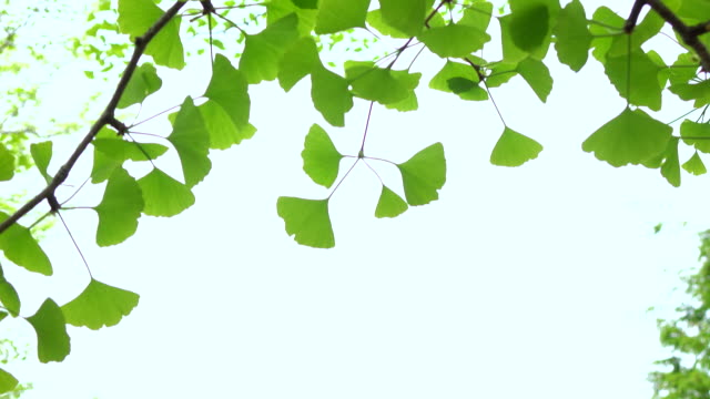 ginkgo leaf -4k- - homeopathic medicine stock videos & royalty-free footage