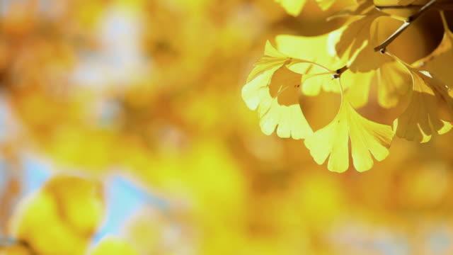 cu ginkgo leaves swaying by wind / shibuya, tokyo, japan - ginkgobaum stock-videos und b-roll-filmmaterial