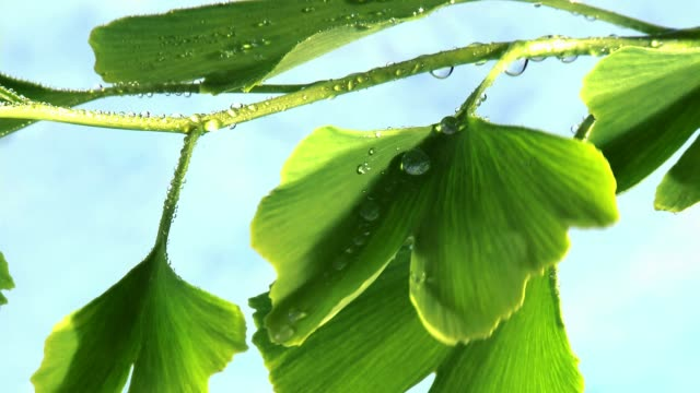ginkgo leaves with dewdrops - ginkgobaum stock-videos und b-roll-filmmaterial