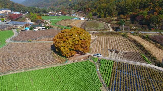 ginkgo tree in dugokri village / sangju-si, gyeongsangbuk-do, south korea - homecoming stock videos & royalty-free footage