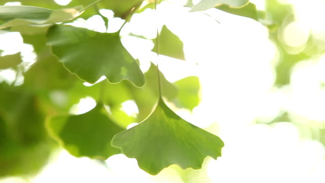 ginkgo tree light - homeopathic medicine stock videos & royalty-free footage