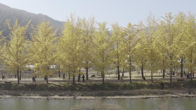 ginkgo trees at mungwang reservoir / goesan-gun, chungcheongbuk-do, south korea - ginkgo stock videos & royalty-free footage
