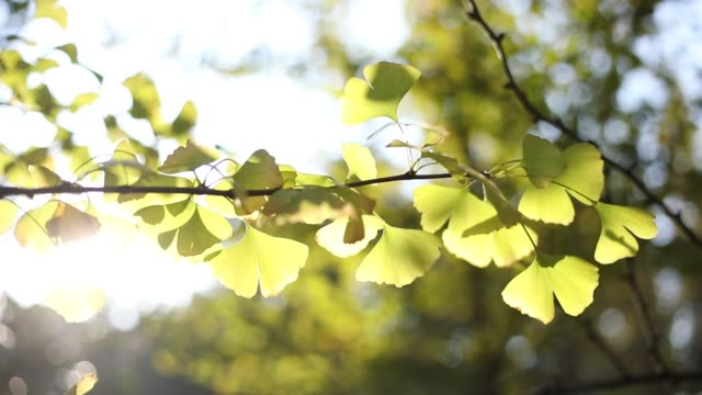 ginkgo - ginkgobaum stock-videos und b-roll-filmmaterial