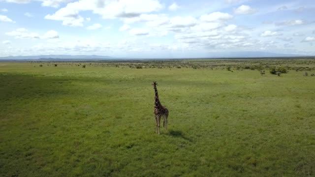 girafe au kenya - ナイロビ点の映像素材/bロール