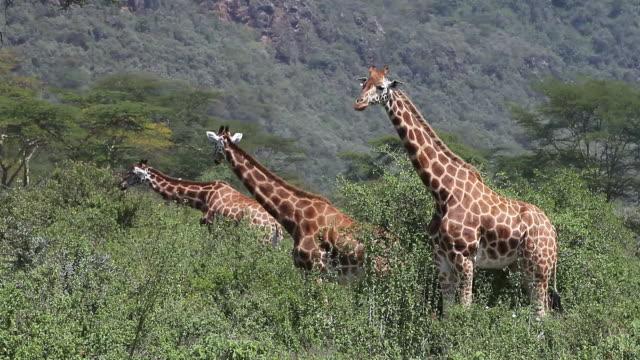 ms giraffa camelopardalis rothschildi herd eating bush savanna at nakuru park / national park, africa, kenya - herbivorous stock videos and b-roll footage