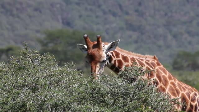 ms giraffa camelopardalis rothschildi herd eating leaves savanna at nakuru park / national park, africa, kenya - herbivorous stock videos and b-roll footage