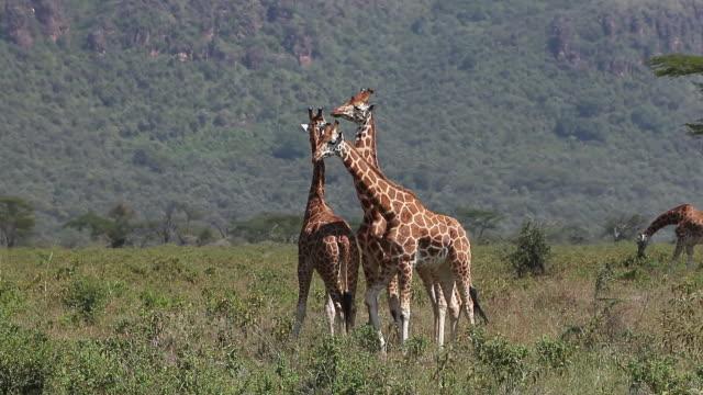 ms ts giraffa camelopardalis rothschildi herd walking through savanna at nakuru park / national park, africa, kenya - herbivorous stock videos and b-roll footage