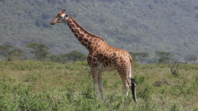 ms giraffa camelopardalis rothschildi herd walking through savanna at nakuru park / national park, africa, kenya - herbivorous stock videos and b-roll footage